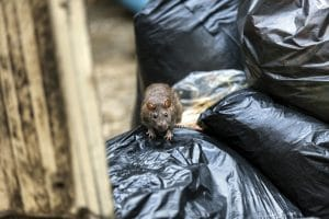 """Chicago Tops Dubious """"Rattiest Cities"""" List for Sixth Straight Year"""